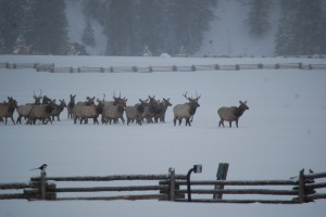 Elk Migration at Wilder on the Taylor