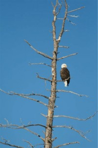 Bald Eagle at Wilder on the Taylor