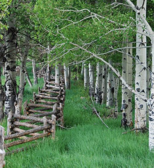 aspen-rows